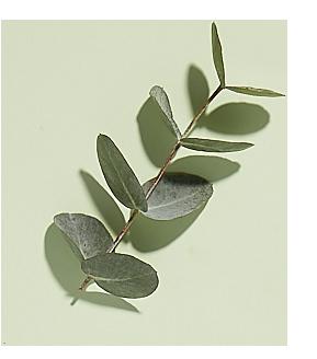 Bio eucalyptus