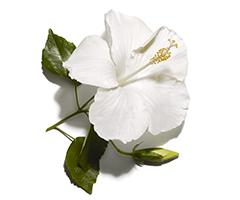 Hibiscus-olie