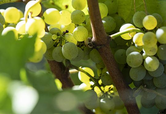 Ingrediënten uit de wijnstok en druiven