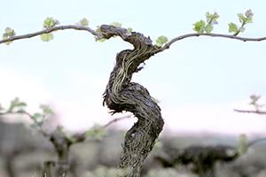 Resvératrol de vigne